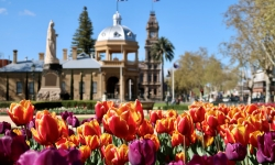 mixed tulips bendigo